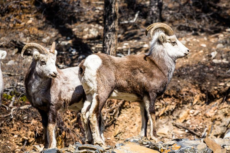 Two male Stone Sheep rams in southern Yukon Territory in Canada stock images