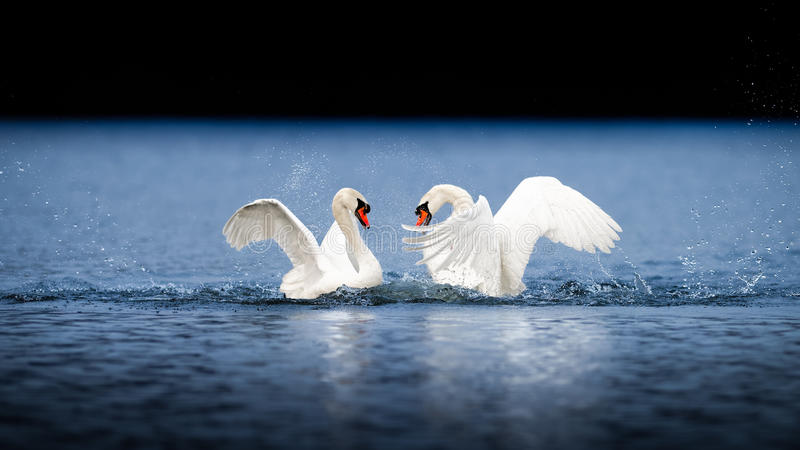 Two Male Swans Fighting On Blue Water stock photo