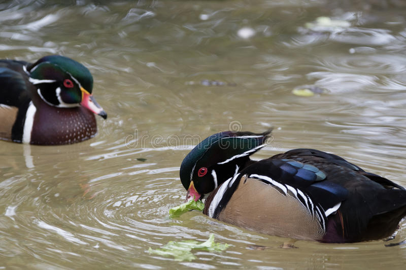 Two male Wood Ducks are feeding while on the water stock image