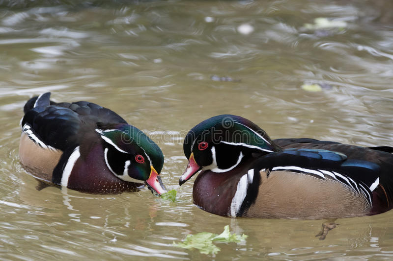 Two male Wood Ducks stock photo