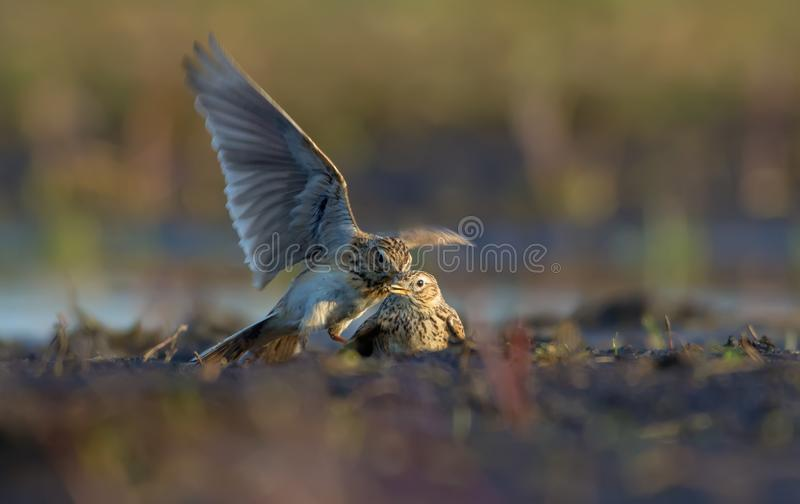 Two males of Eurasian skylark in cruel fight against each other in dirty soil. Two males of Eurasian skylark in cruel combat against each other in dirty earth royalty free stock image