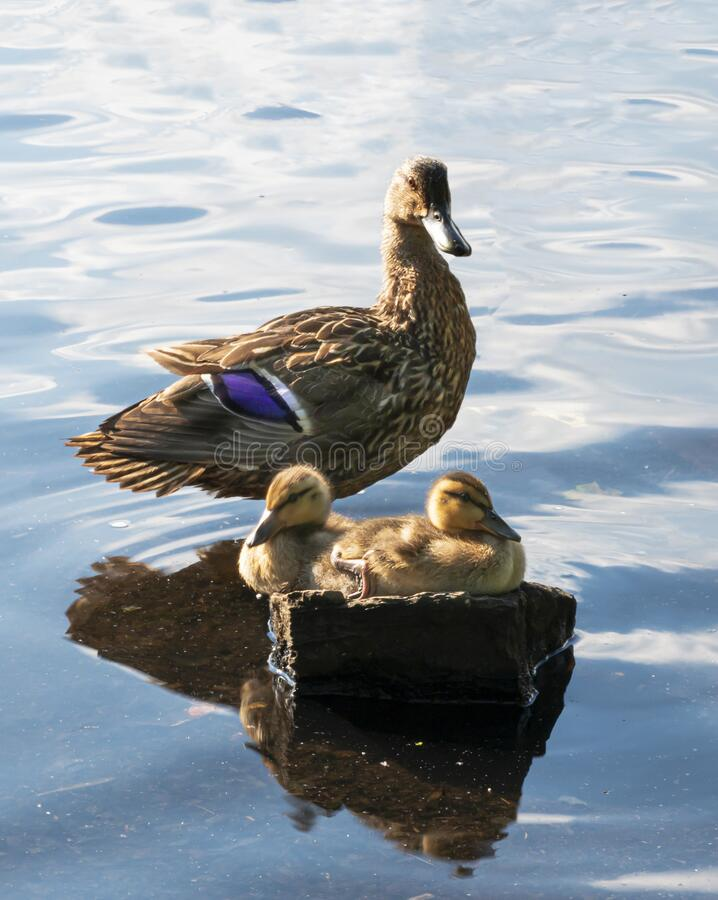 Free Two Mallard Ducklings Sitting On Rock In Water With Mom Looking Over Them Royalty Free Stock Image - 192991756
