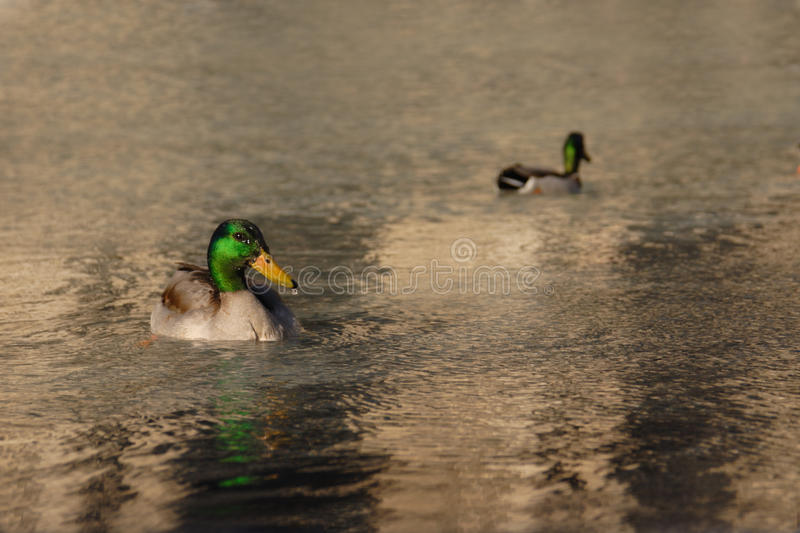 Download Two Mallard Ducks Floating In The Water Stock Photo - Image: 22786064