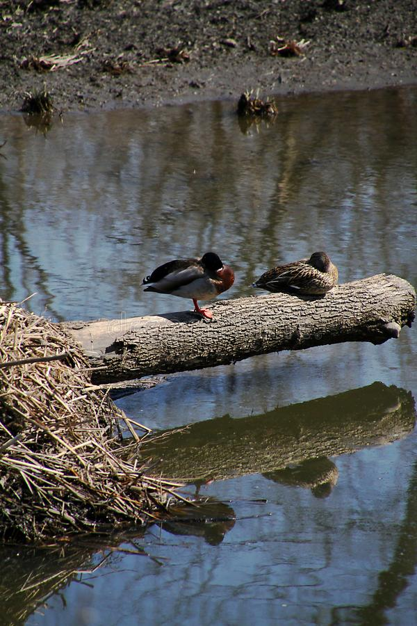 Two Mallard Ducks Sleeping Upon a Log in River stock photos