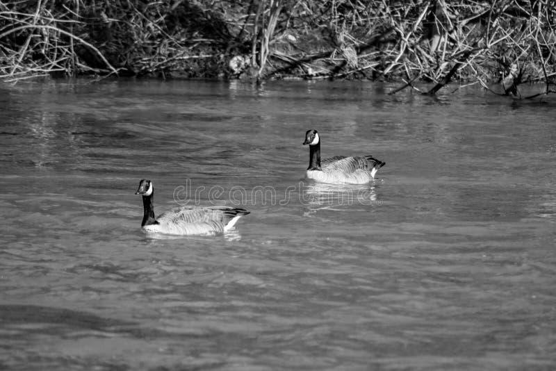 Two Mallard Ducks Swimming in the Roanoke River. A black and white image of two mallard Ducks swimming in the Roanoke River located in Roanoke County, Virginia royalty free stock image