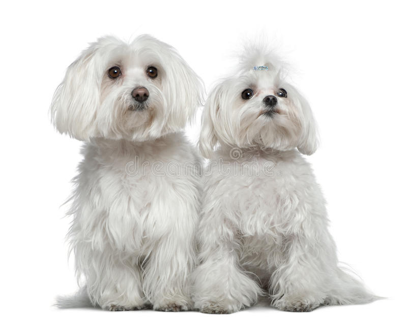 Two Maltese dogs stock image