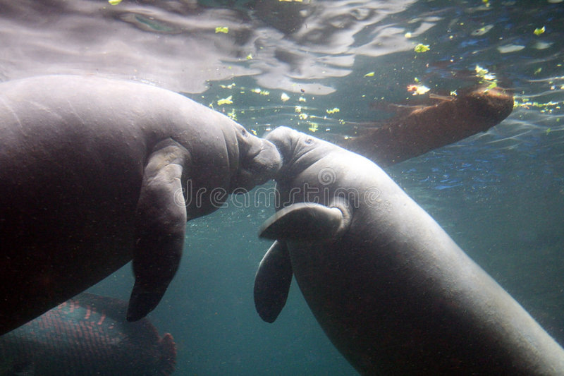Two Manatees royalty free stock images