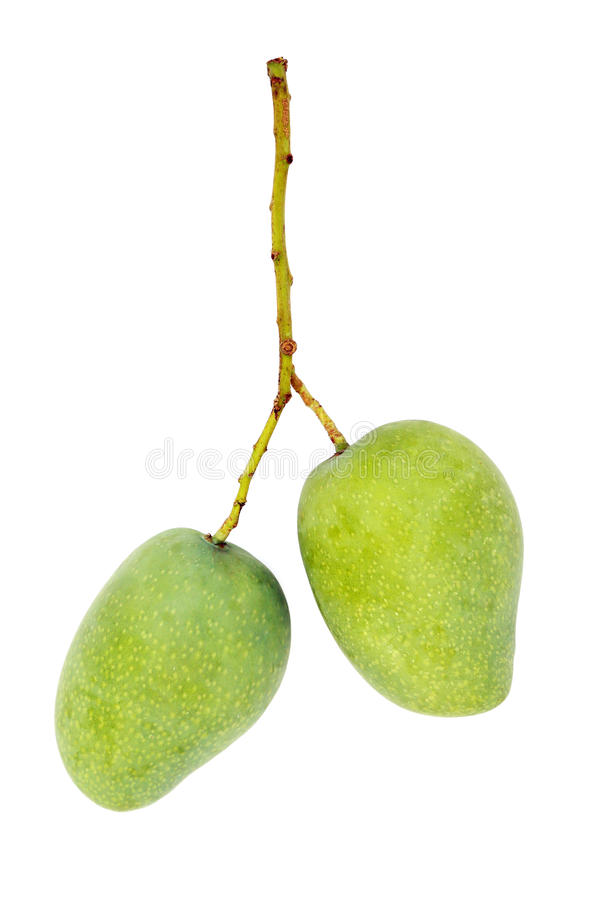 Two mangoes. On isolated white background royalty free stock image