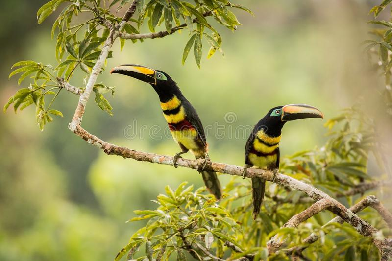 Many-banded Aracari Pteroglossus pluricinctus. Two Many-banded Aracari. south america. ecuador. Toucan in the nature habitat. Wildlife scene from nature with stock photo