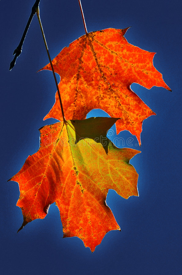Two maple leaves stock image