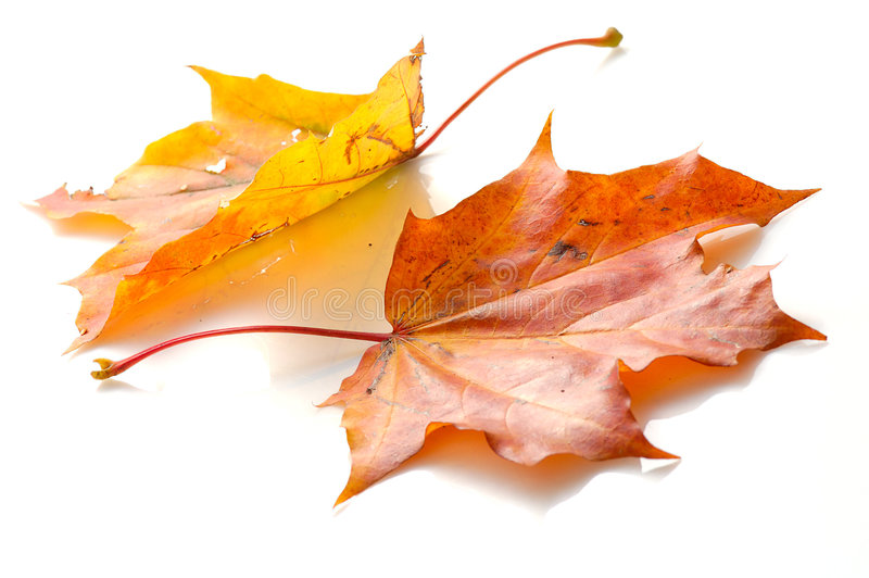 Two maple leaves stock photography