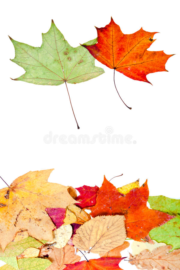 Download Two Maple And Many Dead Leaves Stock Photo - Image: 26982430
