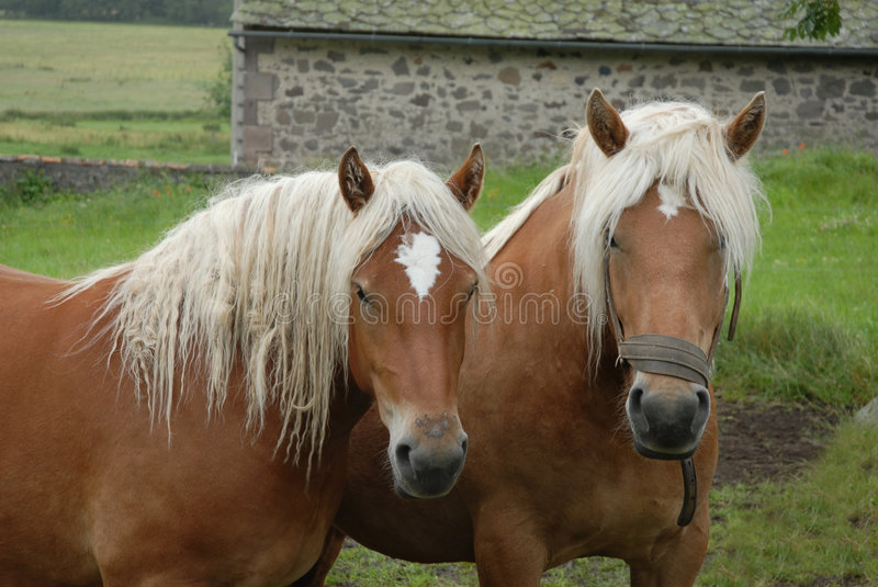 Two mares royalty free stock photos