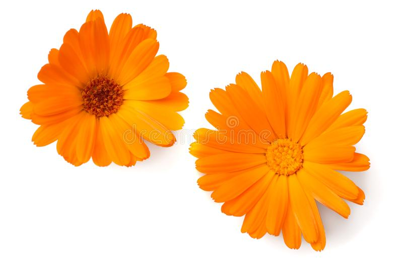 Two marigold flower heads isolated on white background. calendula flower. top view stock photography