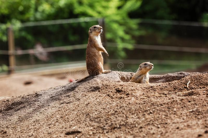 Two Marmota. Cute wild Gopher standing in green grass. Observing young ground squirrel stands guard in wild nature royalty free stock image