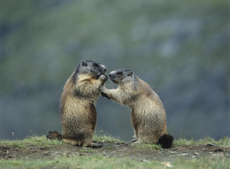 Download Two Marmots stock photo. Image of down, switzerland, length - 30845524