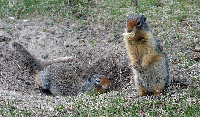 Two marmots at a campground in the rocky mountains stock photography