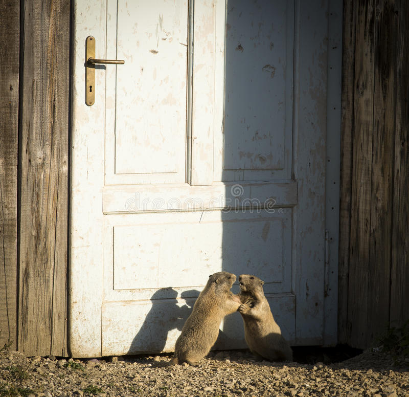 Two marmots playing in front of a door of house in Dolomites Moutain, Italy stock photos