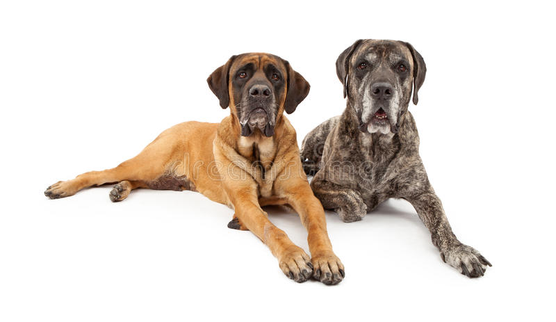Two Mastiff Dogs Laying Down. Two beautiful and well behaved Mastiff dogs laying down together against a white backdrop royalty free stock image