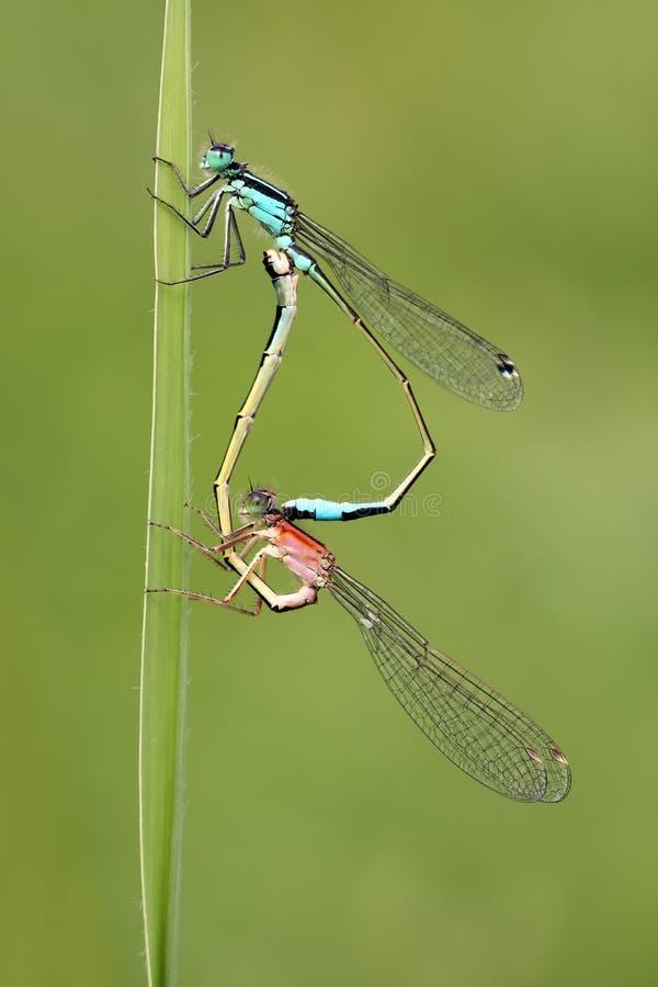 Two mating damelflies royalty free stock photos