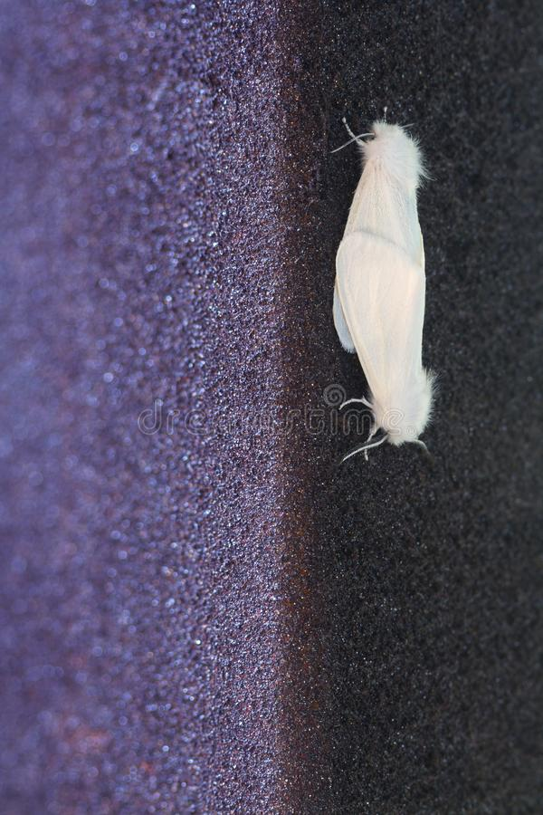 Two mating white butterflies in an urban environment. Close-up image of Two White Ermine Moth butterflies Spilosoma lubricipeda.  royalty free stock photography