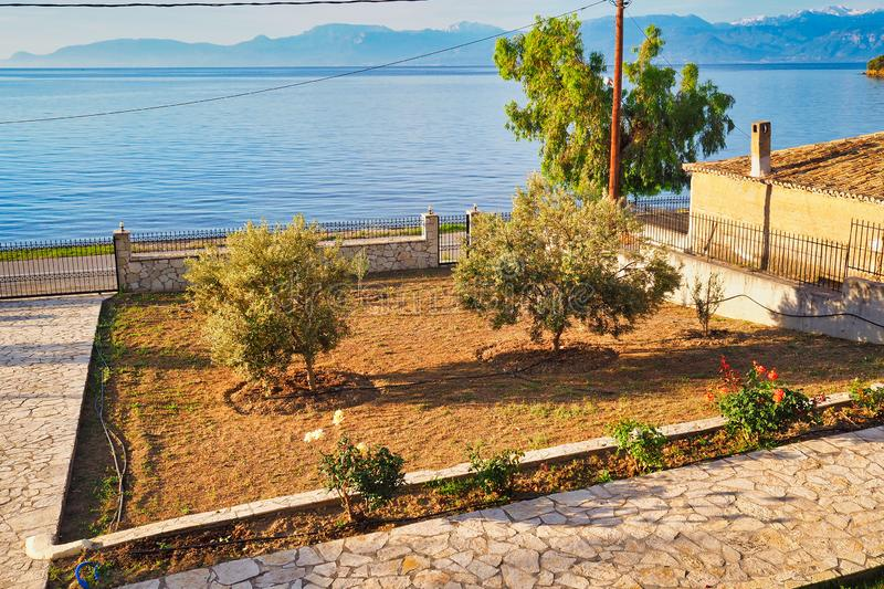 Maturing Flowering Olive Trees in Home Garden, Greece. Two maturing and flowering olive trees in freshly tilled beds in home garden beside a Gulf of Corinth bay royalty free stock image
