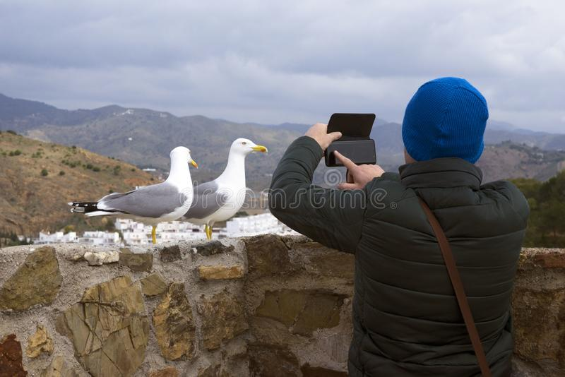Two Mediterranean gulls Larus michahellis stand on the stone wall of the old fortress.  A man photographs birds on a smartphone. stock photo