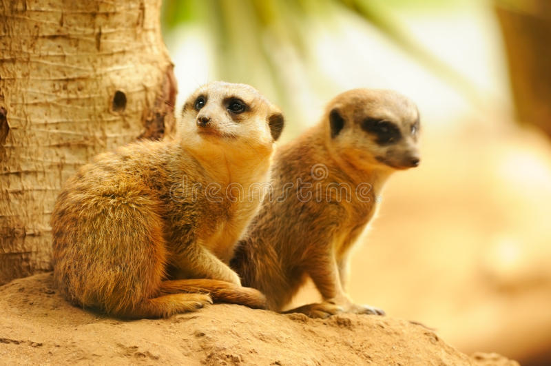 Two Meercats Sitting Near The Tree Stock Images