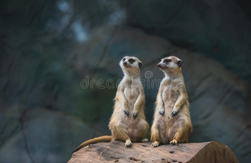 Two Meerkat, Suricate in the zoo. royalty free stock image