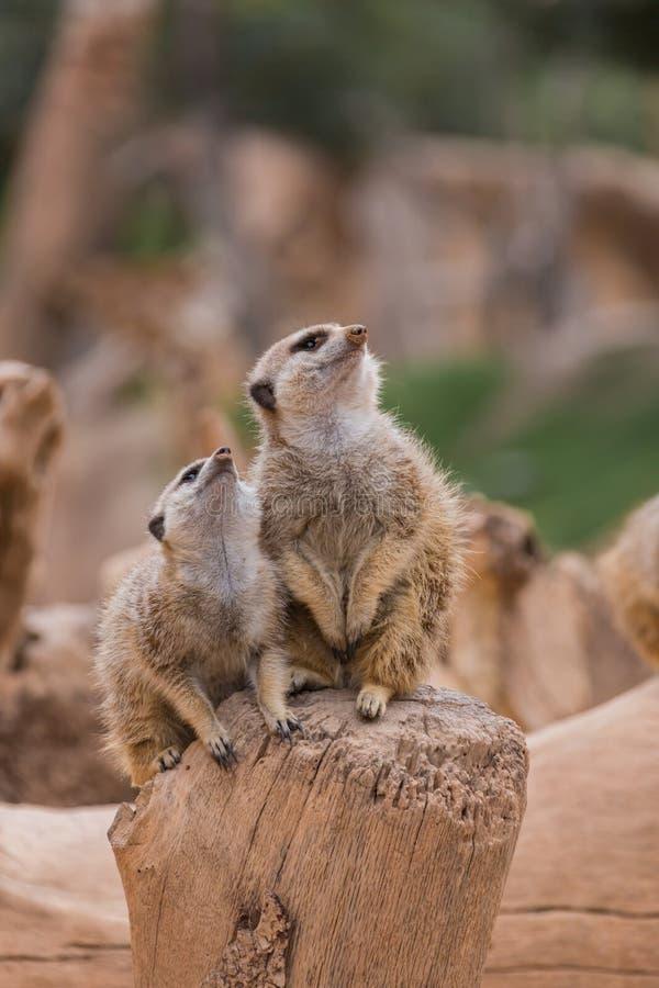 Download Two meerkats stock image. Image of pair, mammal, close - 38444241