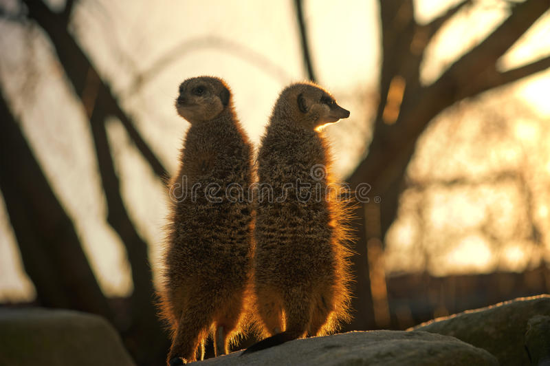 Download Two Meerkats Against The Big Tree Stock Image - Image: 23059599