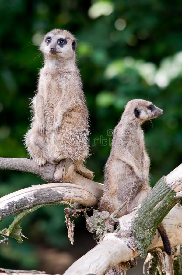 Download Two Meerkats on guard stock image. Image of guard, branch - 16107345
