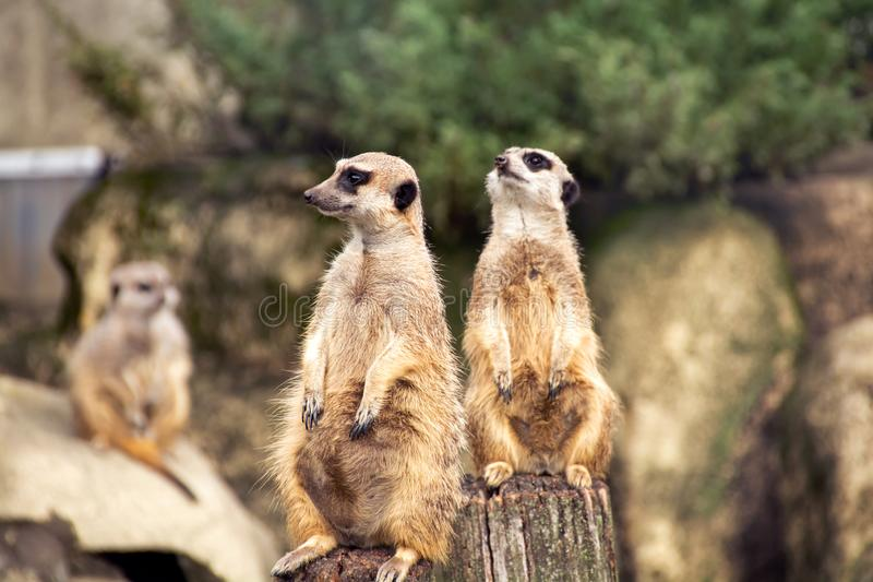 Two meerkats looking in different directions royalty free stock photography