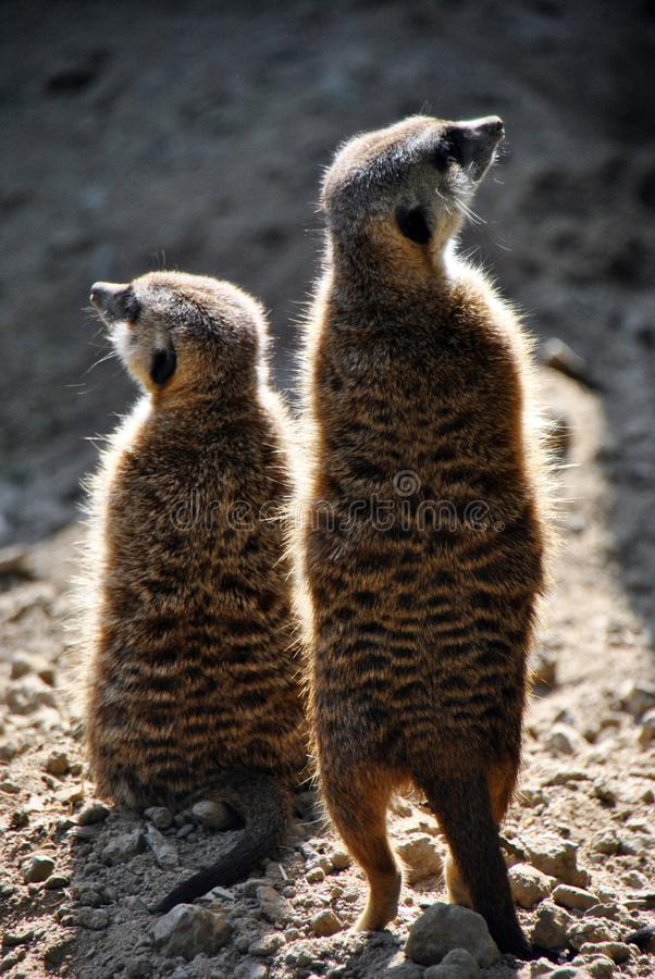 Two meerkats looking in different directions stock photography