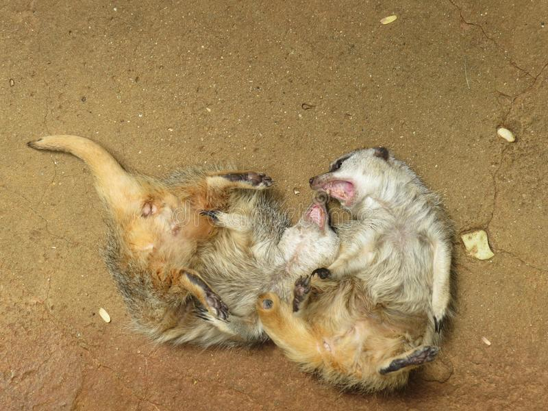 Two meerkats play fight with their backs on the ground and teeth exposed.  stock images