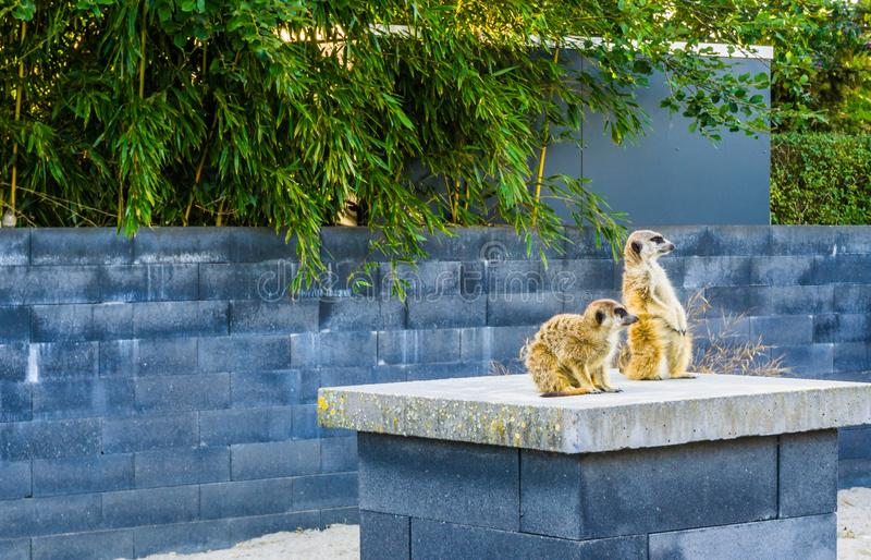 Two meerkats on a pole together looking around royalty free stock image