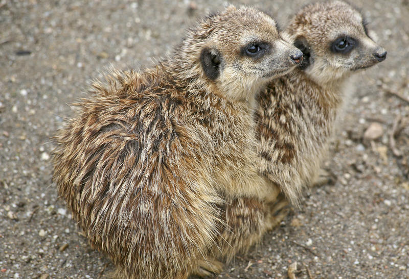 Two meerkats are staying warm stock photos