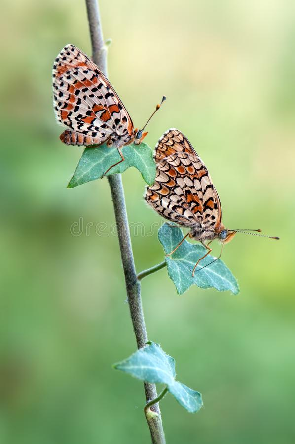 Two Melitaea butterflies sit on a forest plant. On a summer morning royalty free stock images