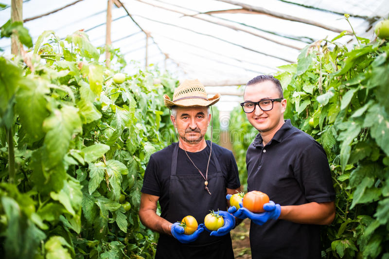 Two men collect pick up the harvest of tomato in greenhouse farm royalty free stock photo