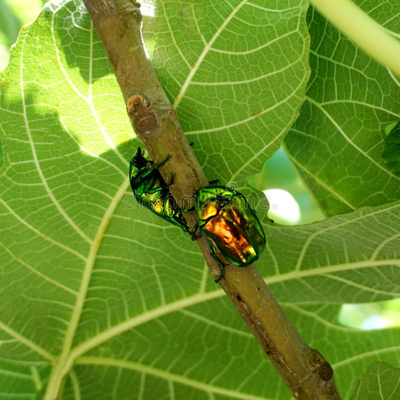 Two green bronze beetle Cetonia aurata on the fig branch. Two metallic structurally colored green bronze beetle Cetonia aurata called the green rose chafer on royalty free stock photos