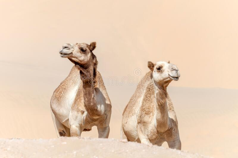 Two middle eastern camels in the desert. Two middle eastern camels walking in the desert in summer royalty free stock photo