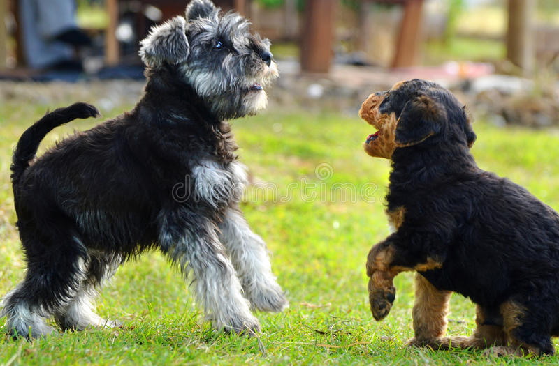 Two miniature Schnauzer & Airedale Terrier puppies stock images