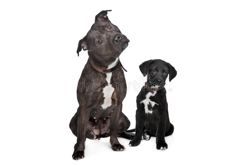 Two mixed breed dogs royalty free stock photography