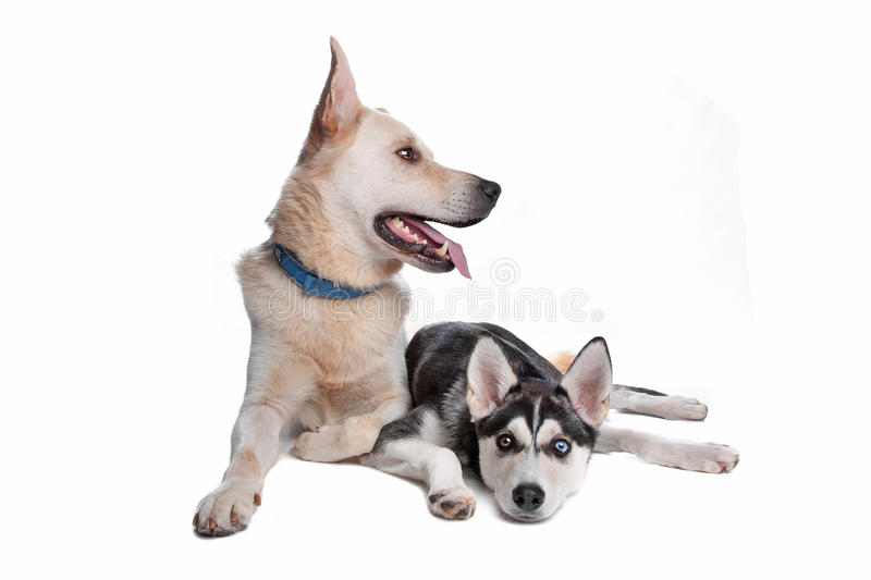 Two mixed breed dogs. Shepherd, golden retr and husky, american indian dog mix stock photo