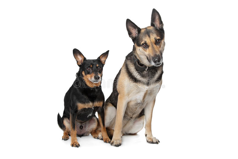 Two mixed breed dogs. In front of a white background stock photography