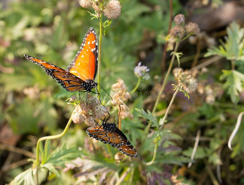 Two monarch butterflies on flower royalty free stock photo