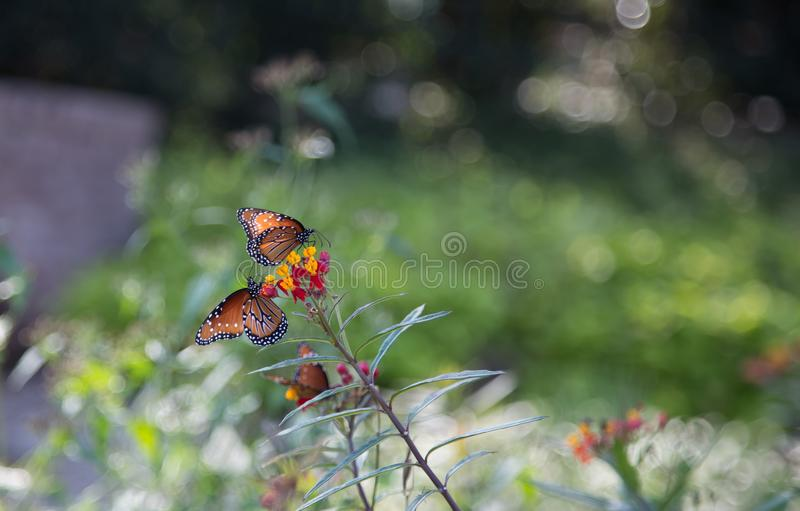 Two Monarch butterlies on flowers stock images