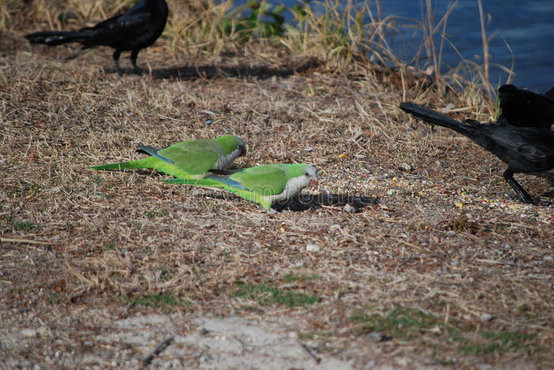 Two Monk Parrots. The monk parrot population at this lake took a bit hit a couple of years ago when a colder than normal winter hit. The population is not royalty free stock photo