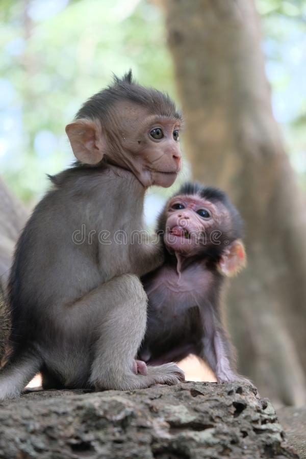 Two monkey babies in Angkor, Cambodia royalty free stock photo