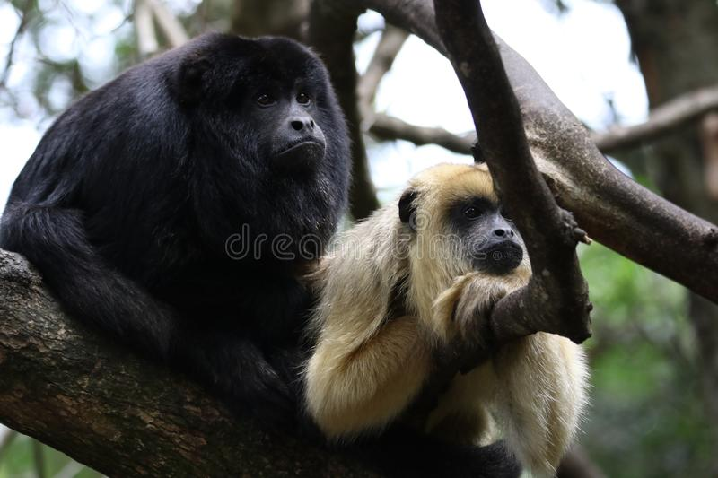 Two Monkey in Branch of Tree Photo royalty free stock images